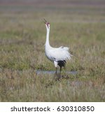 call of the whooper   a... | Shutterstock . vector #630310850