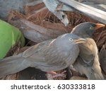 Small photo of Jungle babbler attacks another