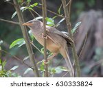 Small photo of Jungle babbler on branch