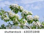 Wild Pear Tree Flowers In Fron...