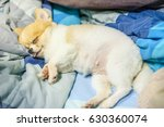 Fat Lazy Pomeranian Dog Puppy...
