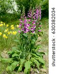 Flowers Of Purple Foxglove Or...