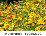 A Lot Of Blossoming Nasturtium...