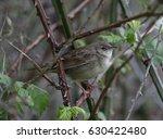 grasshopper warbler  ... | Shutterstock . vector #630422480