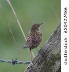 grasshopper warbler  ... | Shutterstock . vector #630422486
