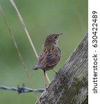 grasshopper warbler  ... | Shutterstock . vector #630422489
