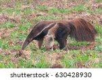 giant anteater | Shutterstock . vector #630428930