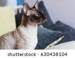 blue eyed peterbald cat. | Shutterstock . vector #630438104