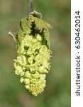 Small photo of Oregon or Bigleaf Maple - Acer macrophyllum Closeup of Flower From Pasific Coast of USA