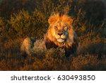 lion panthera leo  | Shutterstock . vector #630493850