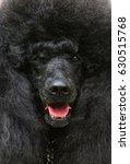 Portrait Of A Large Black...