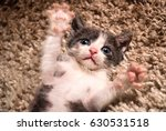 Stock photo cute little cat lying on its back with paws up in a house on the carpet close up with head in focus 630531518