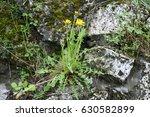 Dandelion Growing On Rocks...