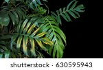 monstera philodendron plant... | Shutterstock . vector #630595943