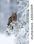Stock photo long eared owl asio otus also known as the northern long eared owl is a species of owl which 630610349