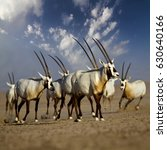 oryx group in desert  united... | Shutterstock . vector #630640166