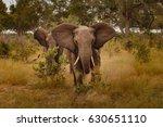 Elephant  loxodonta africana