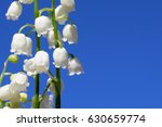Lily Of The Valley. Blooming...