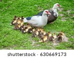 Big Muscovy Duck With Chickens