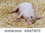 close up of sleeping bay pig on ... | Shutterstock . vector #630673073