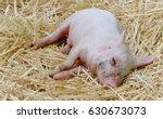 close up of sleeping bay pig on ...   Shutterstock . vector #630673073
