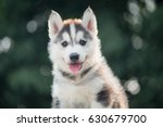 Stock photo two colors eye siberian husky puppy with bokeh sunlight 630679700