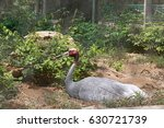 a sarus crane  | Shutterstock . vector #630721739