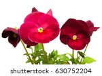 Purple Flowers Pansy Isolated...