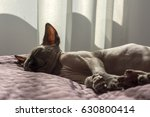 kitten  one bald cat sphynx is... | Shutterstock . vector #630800414