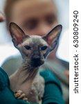 peterbald cat    portrait  ... | Shutterstock . vector #630809240