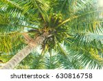 green palm tree with coconuts.... | Shutterstock . vector #630816758