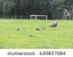 Goose With Her Babies The Gras...