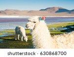 Small photo of Portrait of white alpaca on the Laguna Colorada, Altiplano, Bolivia.