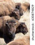 plains bison | Shutterstock . vector #630874829