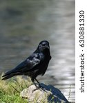 Small photo of American Crow on rock