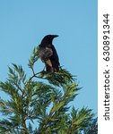 Small photo of American Crow perched in Juniper tree