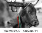 Italian Cow In The Rural Farm ...