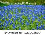 Blue Grape Hyacinths In...