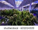 commercial marijuana grow... | Shutterstock . vector #631014320