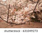 cherry blossom tree branch over ...   Shutterstock . vector #631049273