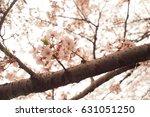 cherry blossom branch   Shutterstock . vector #631051250