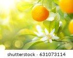 Ripe Oranges Or Tangerines...