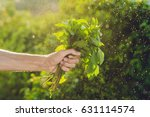 bunch of basil in a hand of a... | Shutterstock . vector #631114574