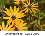 African Daisy Flowers Reaching...