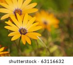 African Daisies Reaching For...