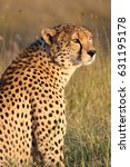 Small photo of A male cheetah (Acinonyx jubatus) poses in golden afternoon light. Ol Pejeta Conservancy, Kenya.