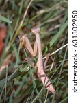 Small photo of White albino female Praying Mantis hiding behind green leaves, Cape Town, South Africa