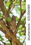 Small photo of Cicadidae on the tree