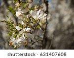 white magnolia tree in blossom  | Shutterstock . vector #631407608