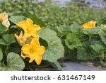 close up yellow flower of... | Shutterstock . vector #631467149